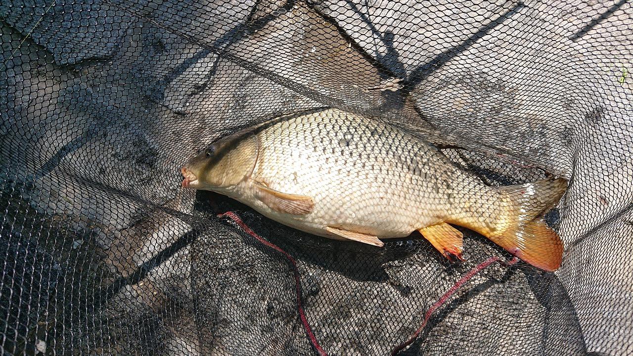 halvédelem
